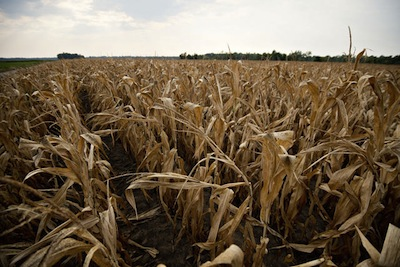 Corn Dead in Illinois