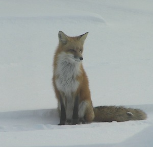 Fox Elmwood IL
