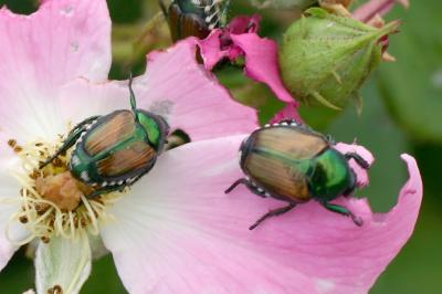 Japanese Beetles Elmwood Illinois