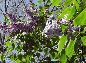 Elmwood IL Lilac Bloom May